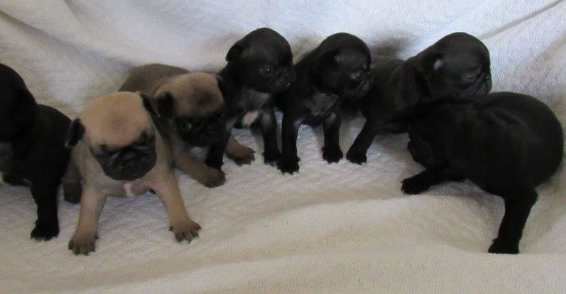 New Pug & French Bulldog Puppies